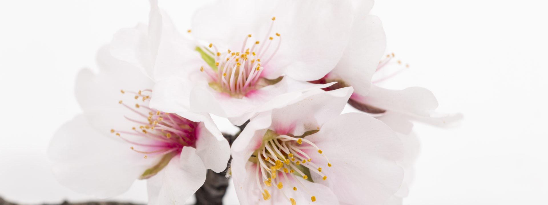Мастер-класс по живописи <br>маслом «Цветы миндаля»